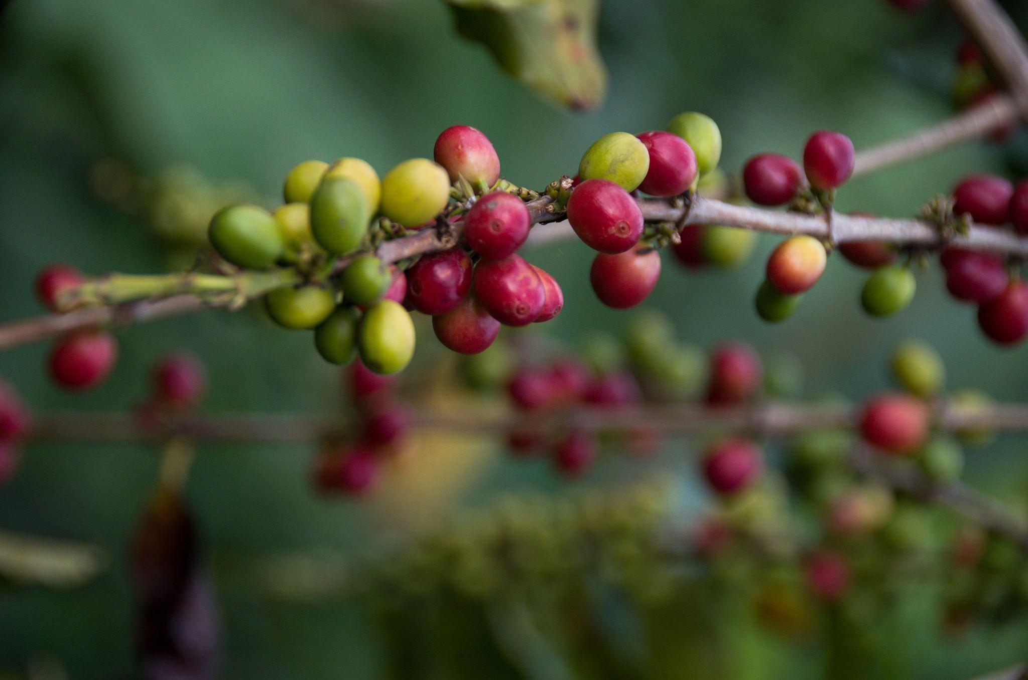 Rwenzori kafe